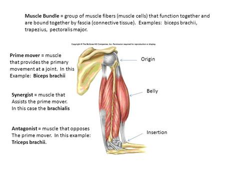Muscle Bundle = group of muscle fibers (muscle cells) that function together and are bound together by fascia (connective tissue). Examples: biceps brachii,