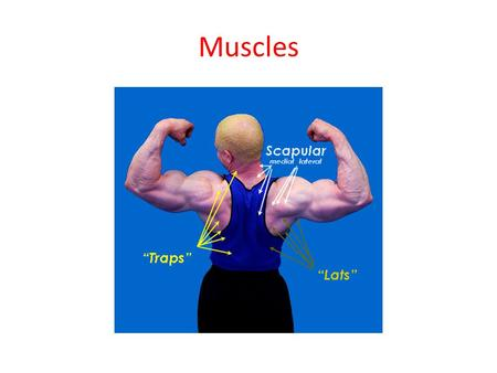Muscles. Function of Muscle 1.Muscle tissue is responsible for all body movements. This includes body motion as in walking but also organ movement such.