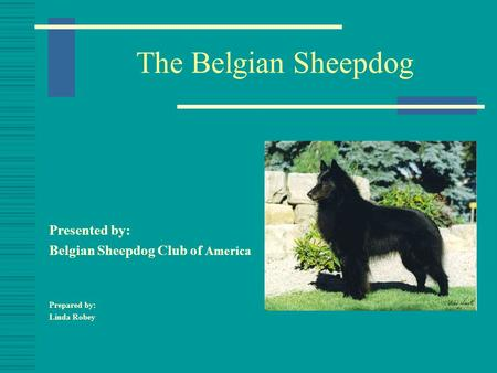 The Belgian Sheepdog Presented by: Belgian Sheepdog Club of America Prepared by: Linda Robey.