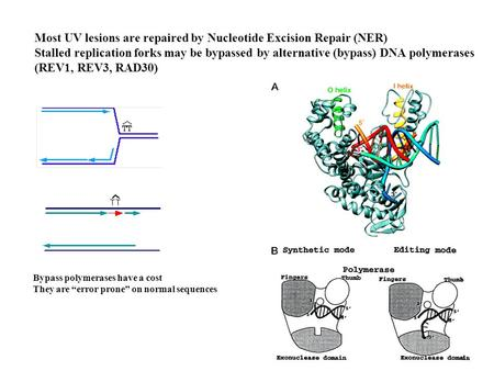 Most UV lesions are repaired by Nucleotide Excision Repair (NER) Stalled replication forks may be bypassed by alternative (bypass) DNA polymerases (REV1,