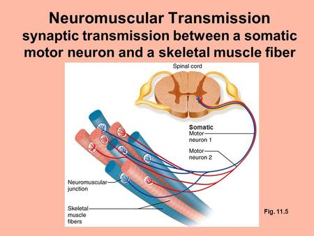 Neuromuscular Transmission synaptic transmission between a somatic motor neuron and a skeletal muscle fiber Somatic Fig. 11.5.