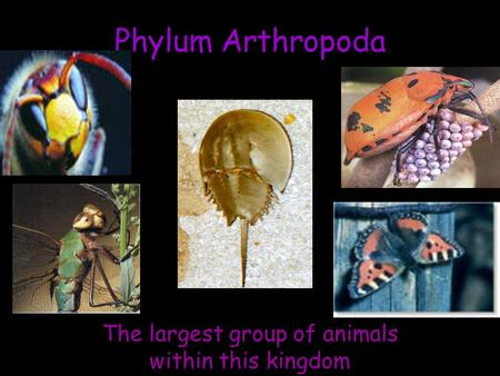 Phylum Arthropoda The largest group of animals within this kingdom.
