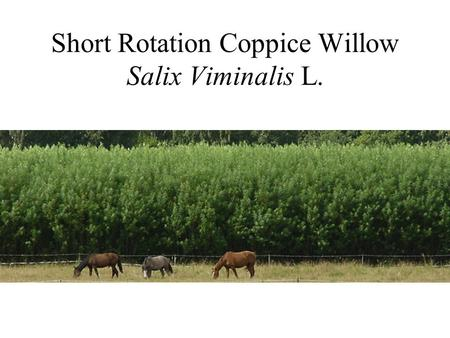 Short Rotation Coppice Willow Salix Viminalis L..