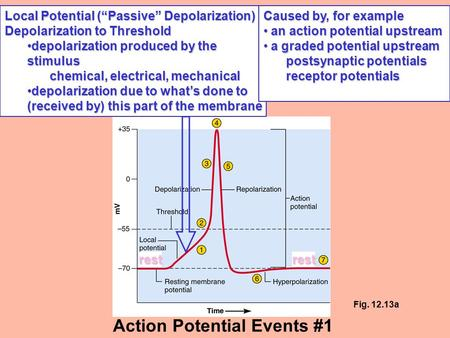 "Local Potential (""Passive"" Depolarization) Depolarization to Threshold depolarization produced by the stimulusdepolarization produced by the stimulus chemical,"