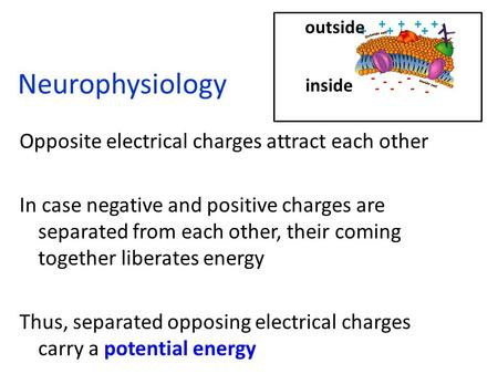 Neurophysiology Opposite electrical charges attract each other In case negative and positive charges are separated from each other, their coming together.
