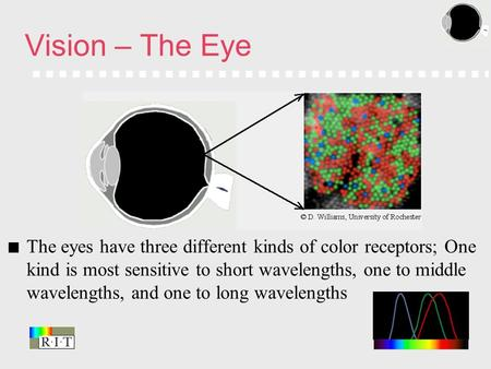 The eyes have three different kinds of color receptors; One kind is most sensitive to short wavelengths, one to middle wavelengths, and one to long wavelengths.