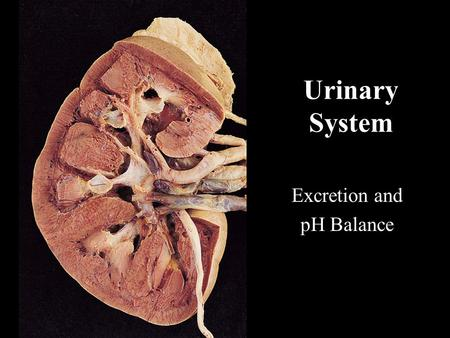 Urinary System Excretion and pH Balance. Gross Anatomy of the Urinary System.