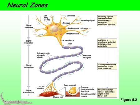 Neural Zones Figure 5.2. How Neurons connect The Synapse  A functional connection between surfaces  Signal transmission zone  Synapse – synaptic cleft,