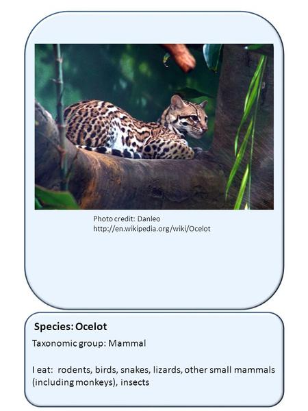 Species: Ocelot Taxonomic group: Mammal I eat: rodents, birds, snakes, lizards, other small mammals (including monkeys), insects Photo credit: Danleo