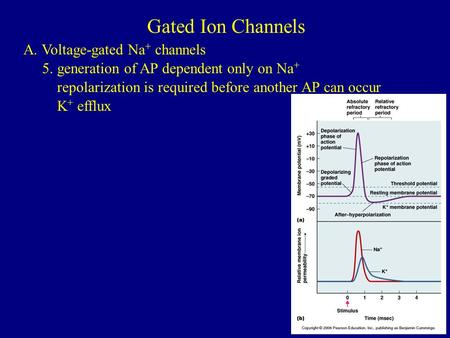 Gated Ion Channels A. Voltage-gated Na + channels 5. generation of AP dependent only on Na + repolarization is required before another AP can occur K +