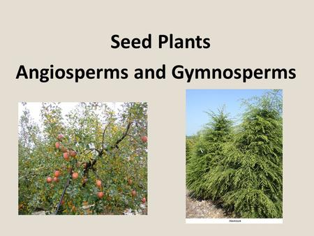 "Seed Plants Angiosperms and Gymnosperms. Gymnosperms Seed plants that produce ""naked seeds"". Seeds are not enclosed by a fruit. The oldest type of seed."