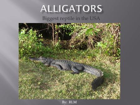 Biggest reptile in the USA By: RLM.  Its scientific name is Alligator mississippiensus  Biggest reptile in USA  Lives in southern USA.
