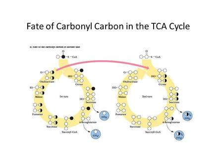 Fate of Carbonyl Carbon in the TCA Cycle. Fate of Methyl Carbon in the TCA Cycle.