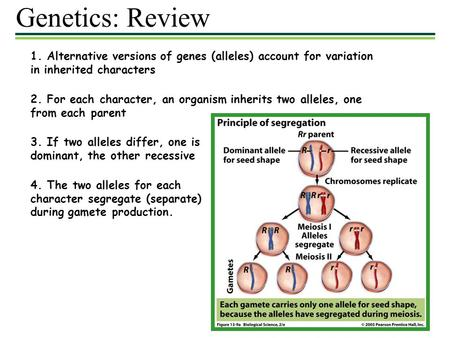 Genetics: Review 1. Alternative versions of genes (alleles) account for variation in inherited characters 2. For each character, an organism inherits two.