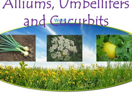 Alliums, Umbellifers and Cucurbits Week 4. Alliums Amaryllidaceae  Grown since prehistoric times  Over 400 species, many grown only for flowers  Odor.
