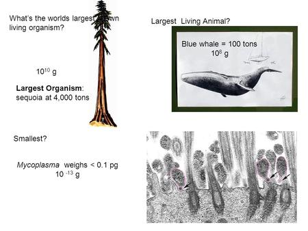 What's the worlds largest known living organism? Smallest? Blue whale = 100 tons 10 8 g Mycoplasma weighs < 0.1 pg 10 -13 g Largest Organism: sequoia.