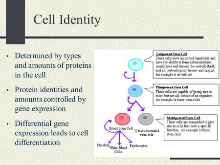 Cell Identity Determined by types and amounts of proteins in the cell