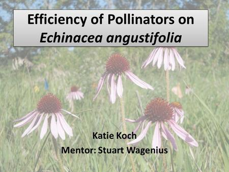 Efficiency of Pollinators on Echinacea angustifolia Katie Koch Mentor: Stuart Wagenius.
