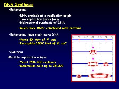 DNA Synthesis Eukaryotes DNA unwinds at a replication origin Two replication forks form Bidirectional synthesis of DNA Much more DNA; complexed with proteins.