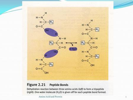 Amino Acid and Protein1. 2  The formation of a peptide bond between glycine and alanine is shown in Figure 5.8. The product is called dipeptide, the.