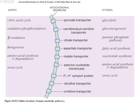 Essential Biochemistry by Pratt & Cornely, © 2004 John Wiley & Sons, Inc. Figure 16.01 Cellular locations of major metabolic pathways.