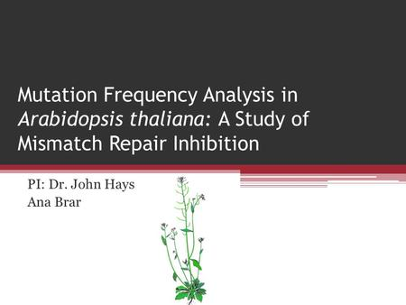 Mutation Frequency Analysis in Arabidopsis thaliana: A Study of Mismatch Repair Inhibition PI: Dr. John Hays Ana Brar.