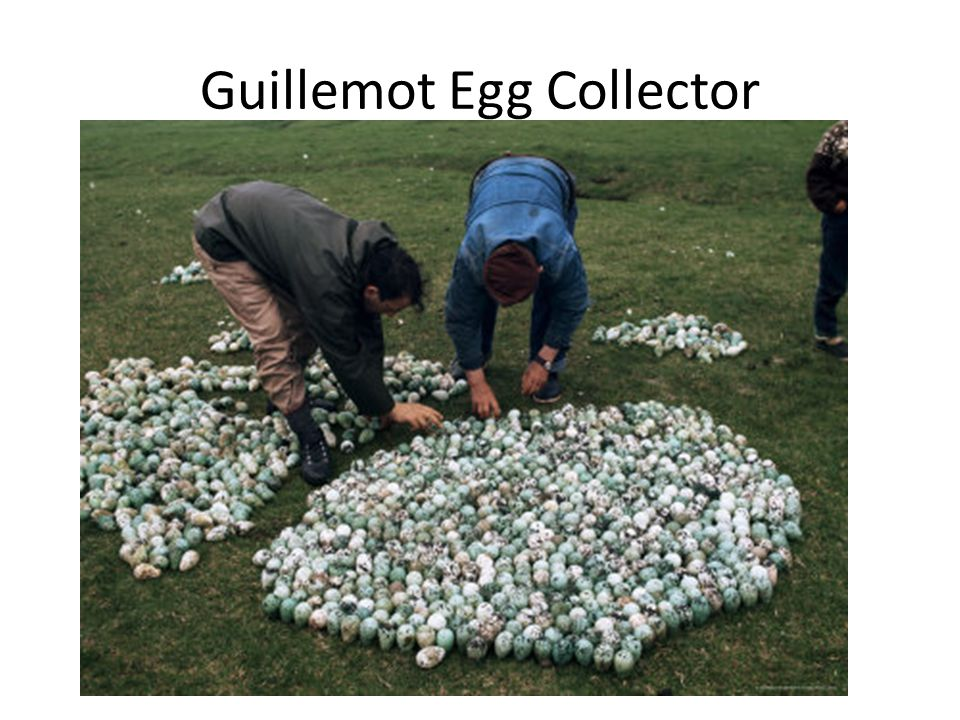 Guillemot eggs were an important source of protein in the Saxon peasant s diet.