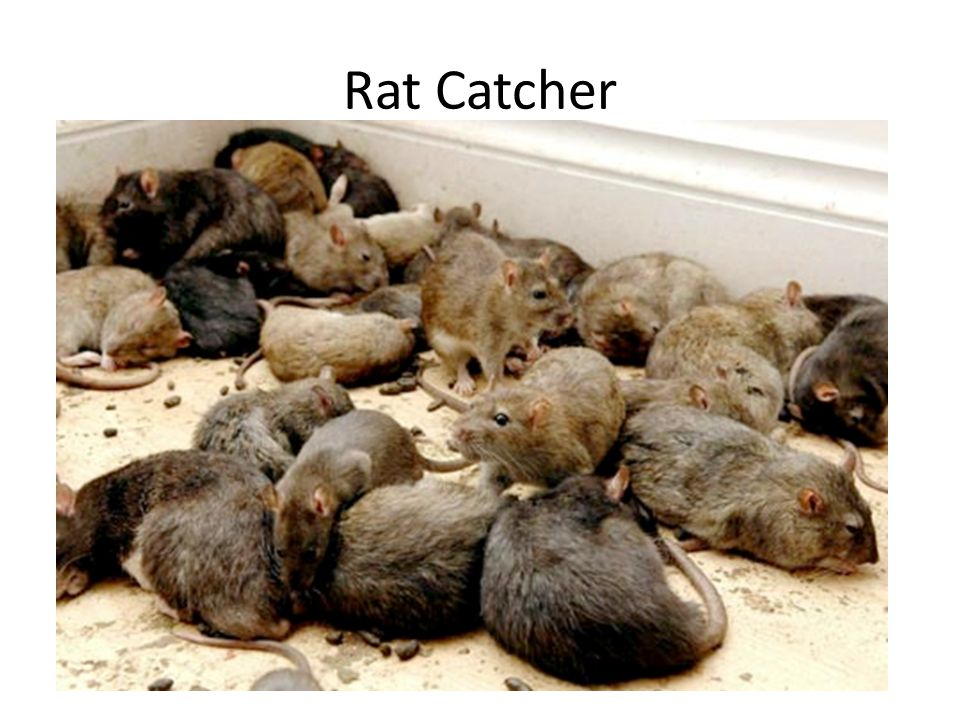 Got a special talent for catching those nasty little vermin called rats.