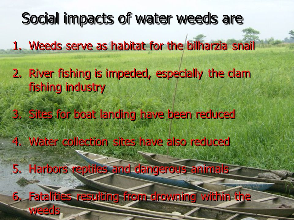 What is Ghana doing about the weeds.