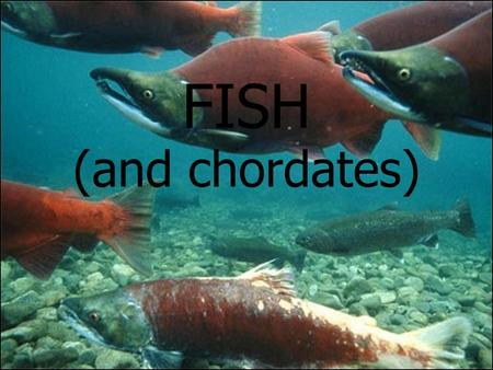 FISH (and chordates). What is a chordate? Members of the ANIMAL KINGDOM and the PHYLUM CHORDATA They have a dorsal, hollow nerve cord and a notocord Most.