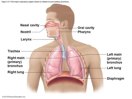 © 2015 Pearson Education, Inc. Figure 13.1 The major respiratory organs shown in relation to surrounding structures. Nasal cavity Nostril Larynx Trachea.