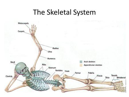 The Skeletal System. Organ system that supports and protects the body and allows it to move Support – bones provide support for your body and make it.