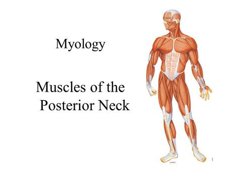 Muscles of the Posterior Neck