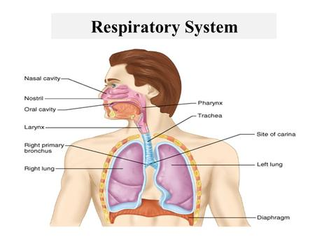 Respiratory System. Consists of the respiratory and conducting parts Respiratory part – Site of gas exchange – Consists of bronchioles, alveolar ducts,
