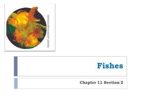 Fishes Chapter 11 Section 2. Characteristics of Fishes  Vertebrate  Lives in the water  Uses fins to move  Ectotherms  Obtain oxygen through gills.