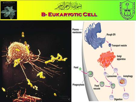 B- Eukaryotic Cell. Objectives List the major organelles found in the cytosol, and describe their roles.List the major organelles found in the cytosol,