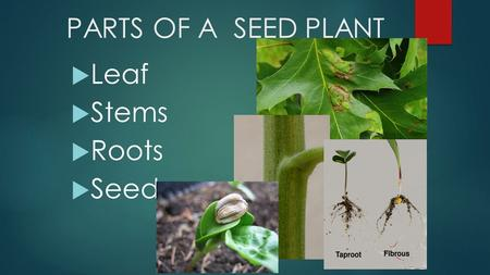 PARTS OF A SEED PLANT Leaf Stems Roots Seeds.
