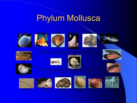 Phylum Mollusca. There are 5 classes: Class Amphineura – Chitons, 8 shells Class Gastropoda – 'Stomach foot' Class Bivalvia – 2 valves/shells Class Scaphopoda.