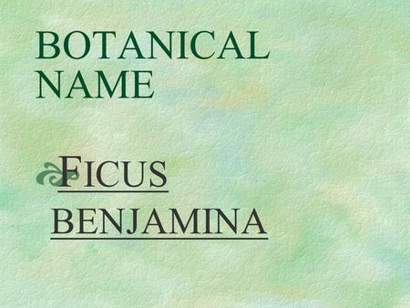 BOTANICAL NAME  F ICUS BENJAMINA PRONUNCIATION  FIE – kus ben – juh – MEE - nuh.