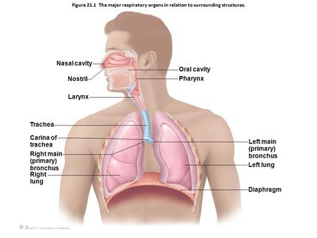 © 2014 Pearson Education, Inc. Figure 21.1 The major respiratory organs in relation to surrounding structures. Nasal cavity Nostril Larynx Trachea Carina.