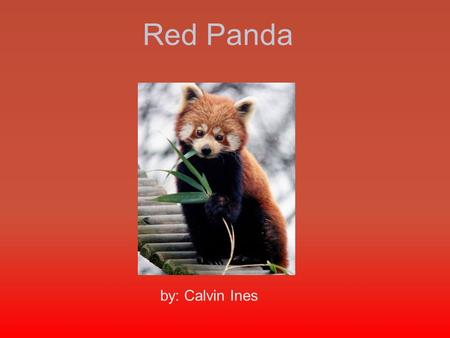Red Panda by: Calvin Ines. Here is video that tells interesting facts about the Red Panda  www.youtube.com/watch?v=kd0y9TBadR0&spfreload=10 www.youtube.com/watch?v=kd0y9TBadR0&spfreload=10.