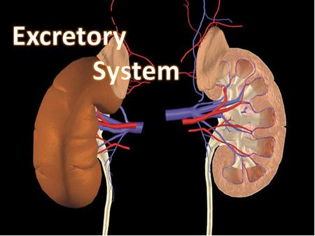 Excretory System o. Body Functions Remember: Toxins broken down in the liver end up in the blood. The cells receive nutrients form the blood and produce.