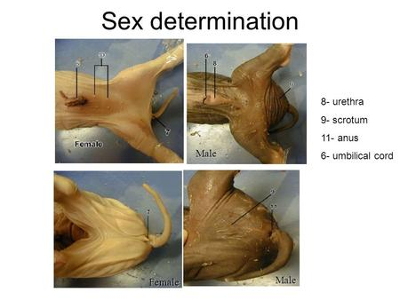 Sex determinationMale Female Male 8- urethra 9- scrotum 11- anus 6- umbilical cord.