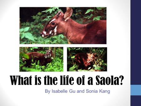 What is the life of a Saola?