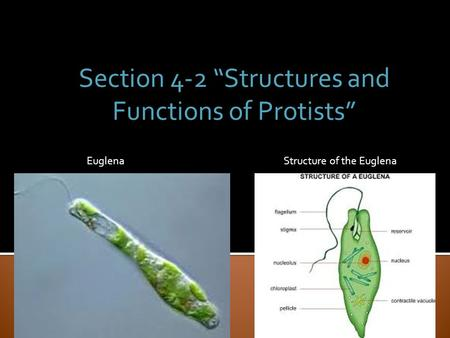 "Section 4-2 ""Structures and Functions of Protists"""