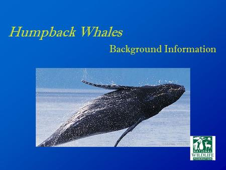 Humpback Whales Background Information. Physical Description The upper body color is black while the underside of the flippers, belly and flanks can be.