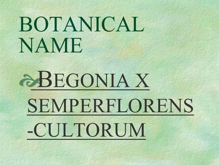 BOTANICAL NAME  B EGONIA X SEMPERFLORENS -CULTORUM.