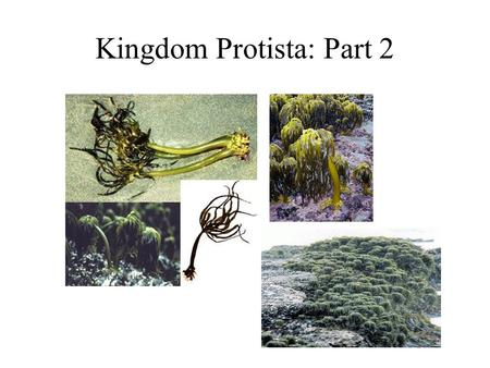 Kingdom Protista: Part 2. Photosynthetic Phyla (the algae) Myzozoa- dinoflagellates. Euglenozoa- euglenoids. Cryptophyta- cryptomonads. Haptophyta- haptophytes.