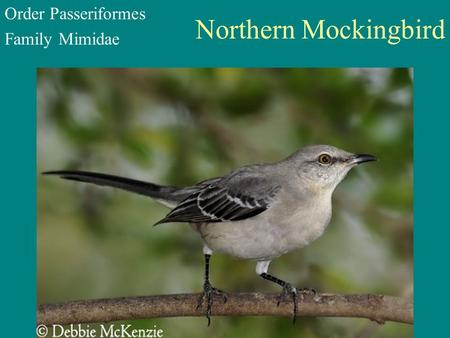 Northern Mockingbird Order Passeriformes Family Mimidae.