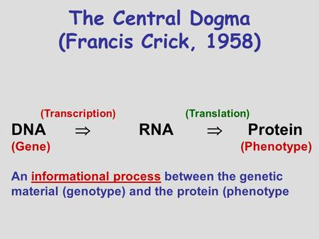 The Central Dogma (Francis Crick, 1958) (Transcription) (Translation) DNA  RNA  Protein (Gene) (Phenotype) An informational process between the genetic.